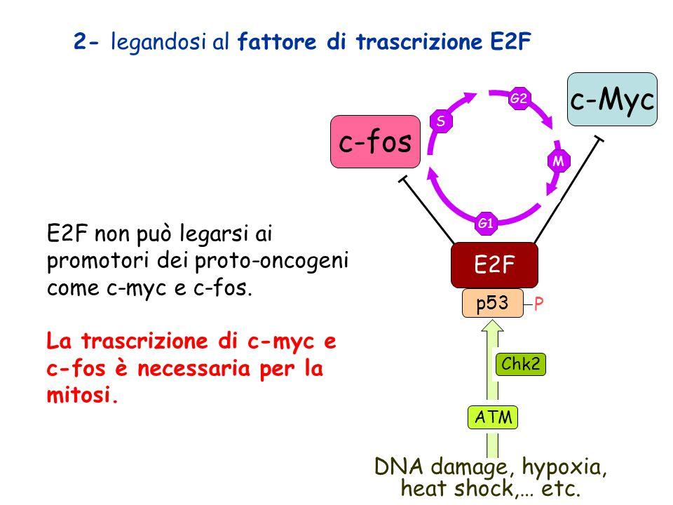 c-Myc c-fos 2- legandosi al fattore di trascrizione E2F