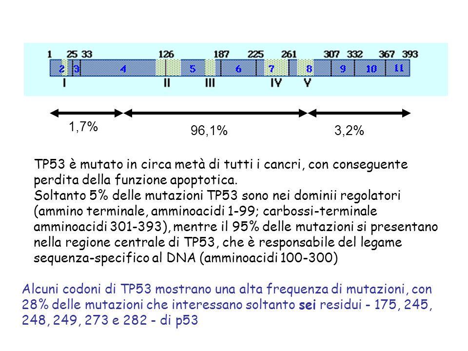1,7% 96,1% 3,2% TP53 è mutato in circa metà di tutti i cancri, con conseguente perdita della funzione apoptotica.