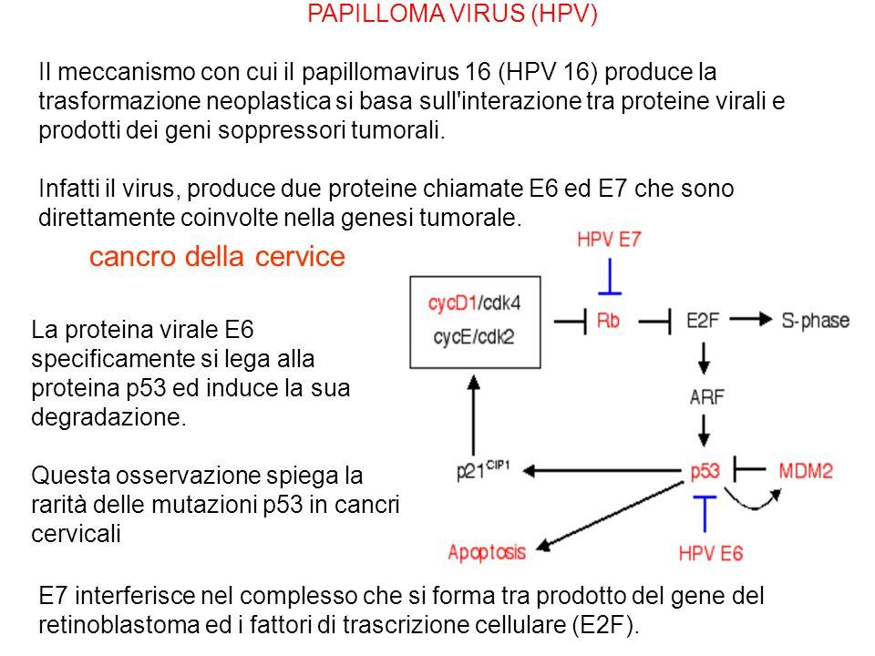 cancro della cervice PAPILLOMA VIRUS (HPV)