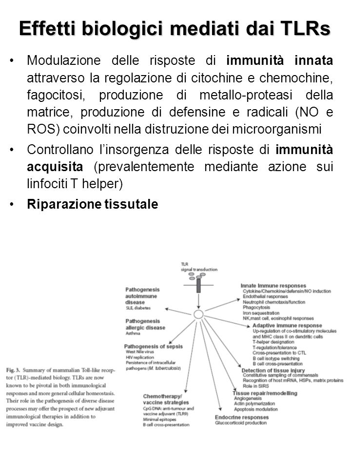 Effetti biologici mediati dai TLRs