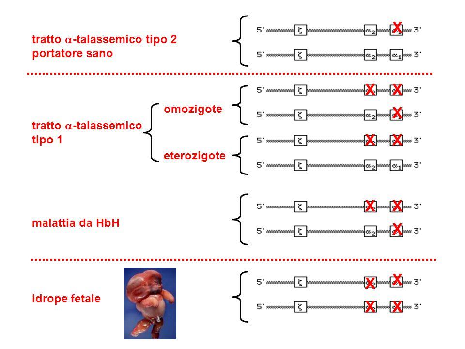 X X X X tratto -talassemico tipo 2 portatore sano omozigote