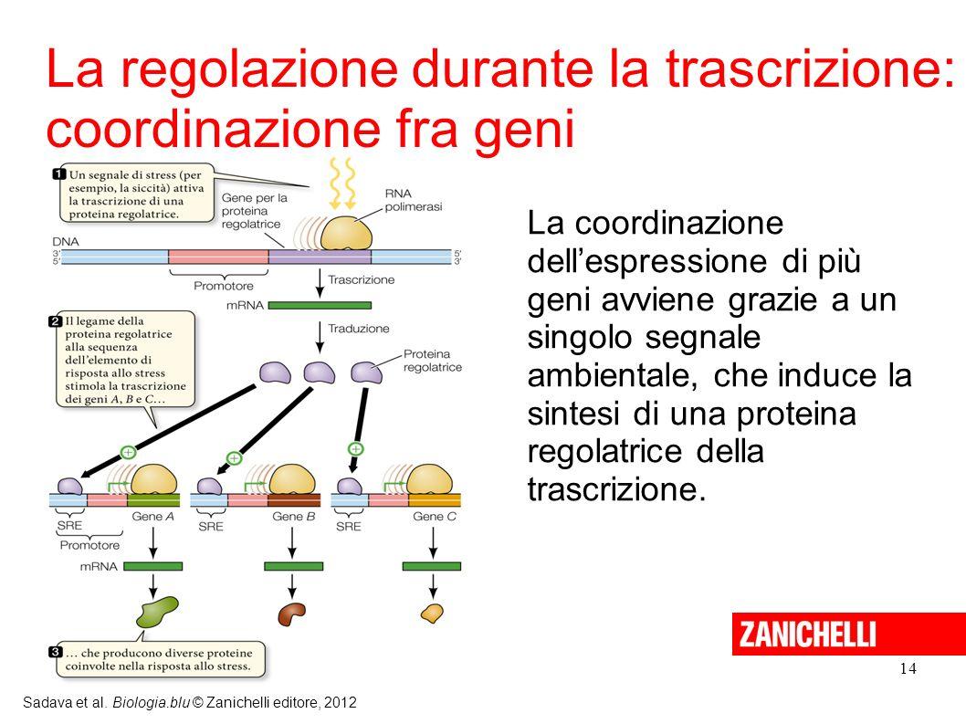 La regolazione durante la trascrizione: coordinazione fra geni