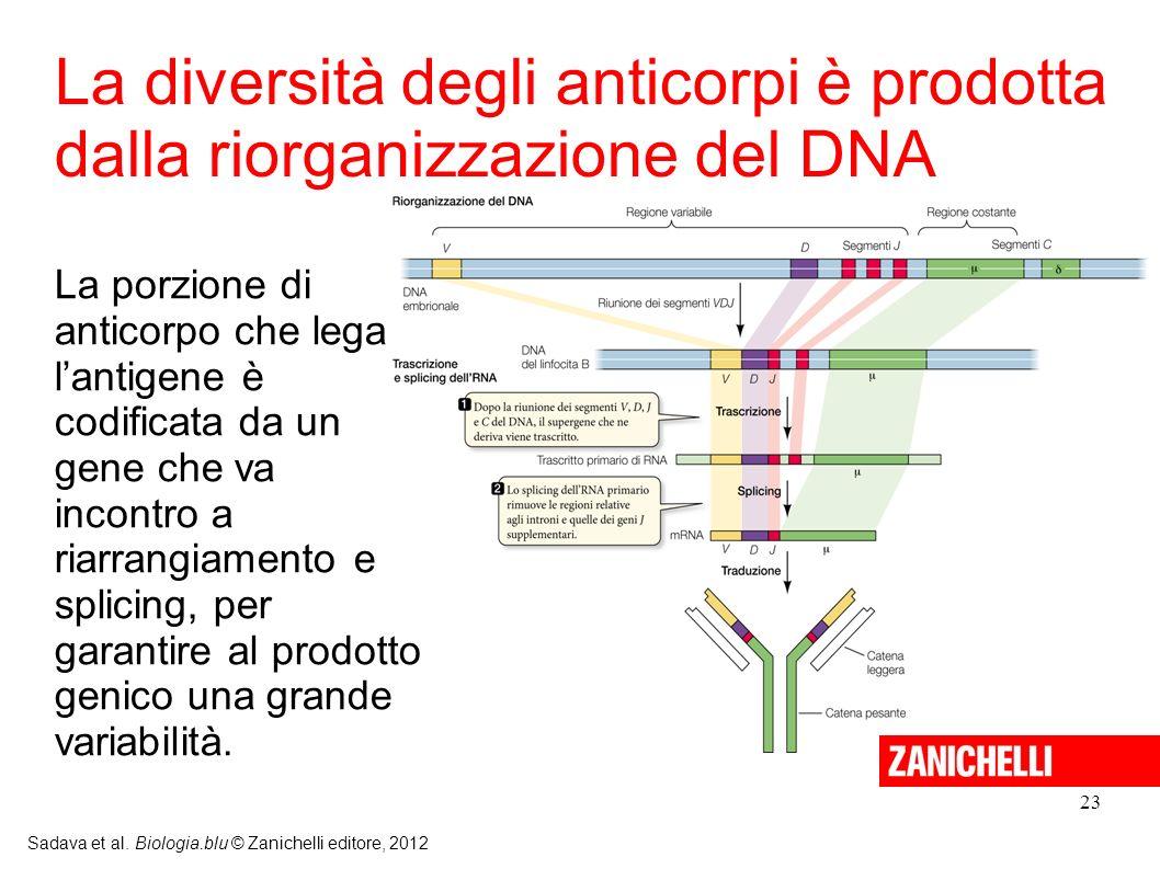 La diversità degli anticorpi è prodotta dalla riorganizzazione del DNA
