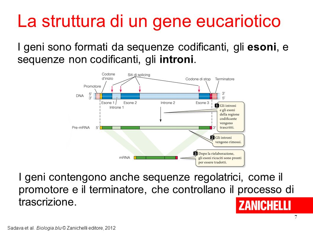 La struttura di un gene eucariotico