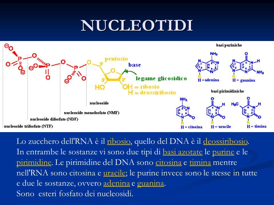 NUCLEOTIDI Lo zucchero dell RNA è il ribosio, quello del DNA è il deossiribosio.