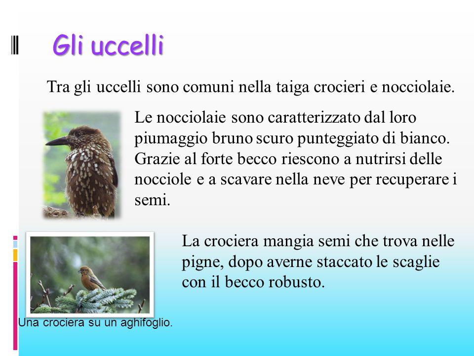 Gli uccelli Tra gli uccelli sono comuni nella taiga crocieri e nocciolaie.