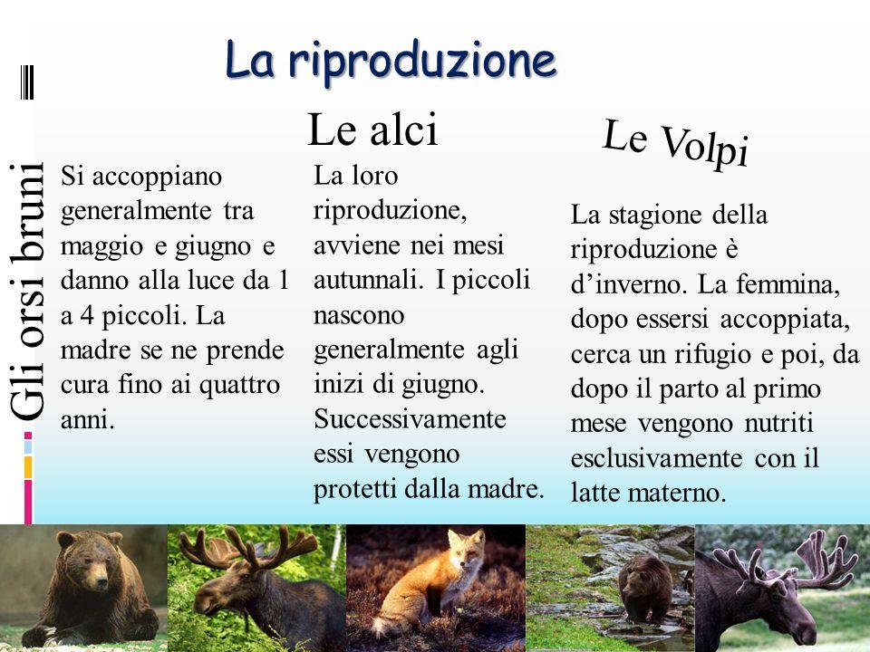 La riproduzione Le alci Gli orsi bruni Le Volpi