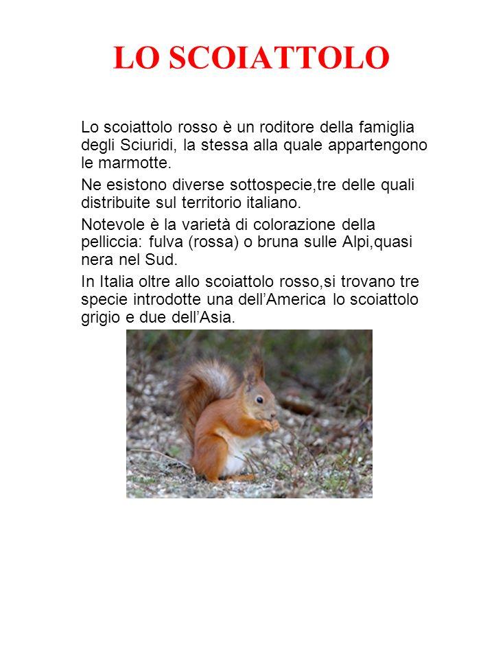 LO SCOIATTOLO Lo scoiattolo rosso è un roditore della famiglia degli Sciuridi, la stessa alla quale appartengono le marmotte.