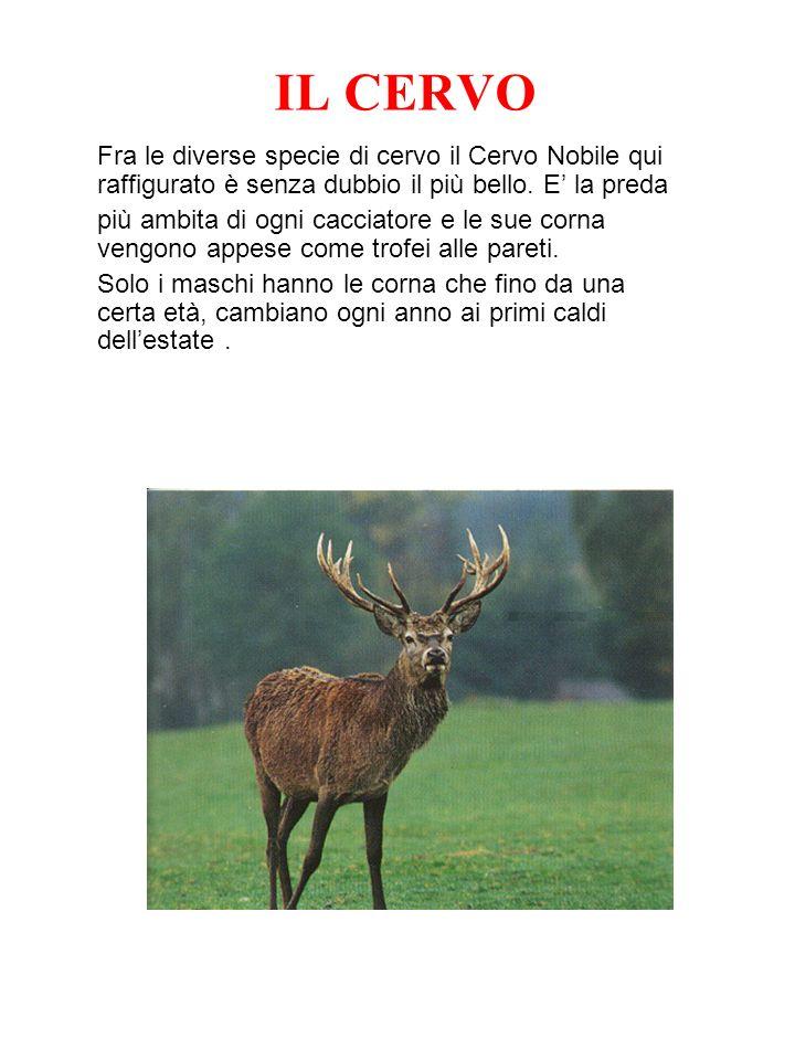 IL CERVO Fra le diverse specie di cervo il Cervo Nobile qui raffigurato è senza dubbio il più bello. E' la preda.