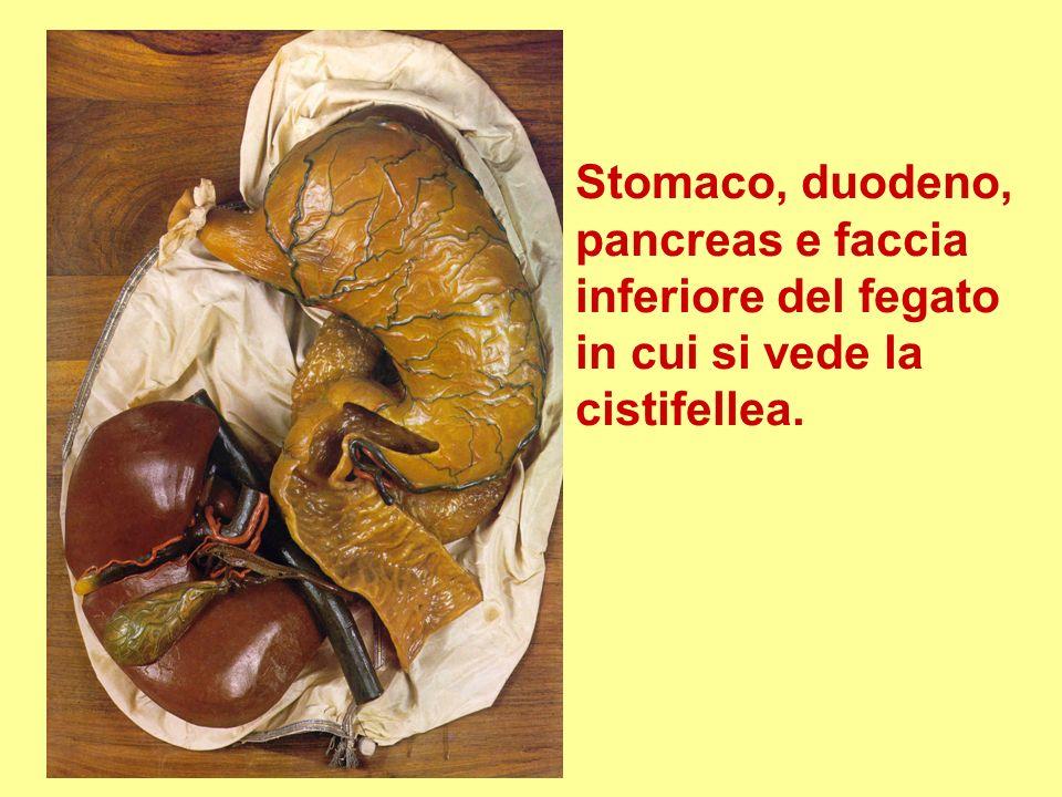 Stomaco, duodeno, pancreas e faccia inferiore del fegato in cui si vede la cistifellea.