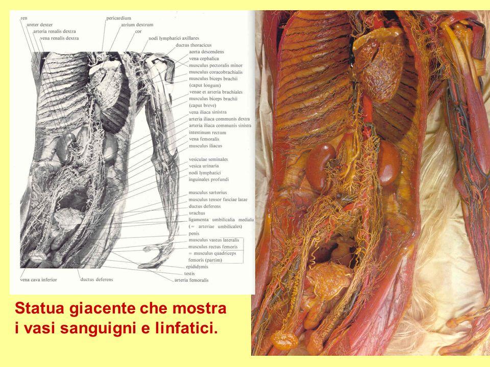 Statua giacente che mostra i vasi sanguigni e linfatici.