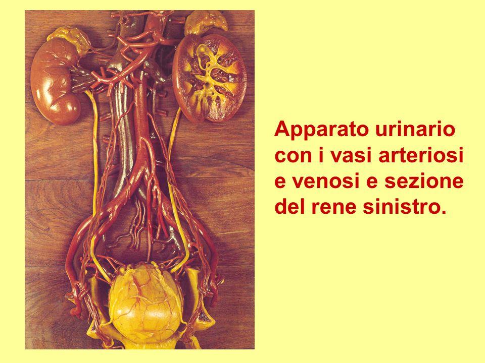 Apparato urinario con i vasi arteriosi e venosi e sezione del rene sinistro.