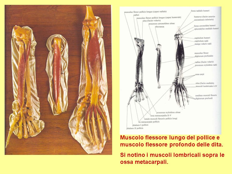 Muscolo flessore lungo del pollice e muscolo flessore profondo delle dita.