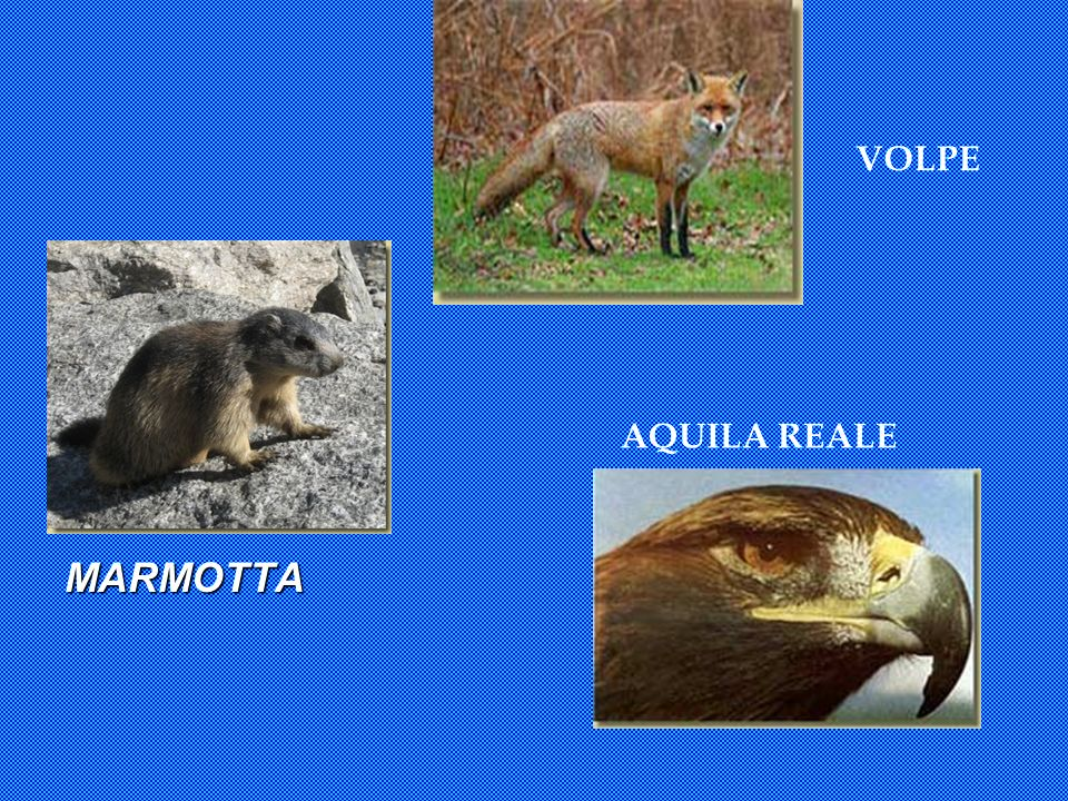 VOLPE MARMOTTA AQUILA REALE