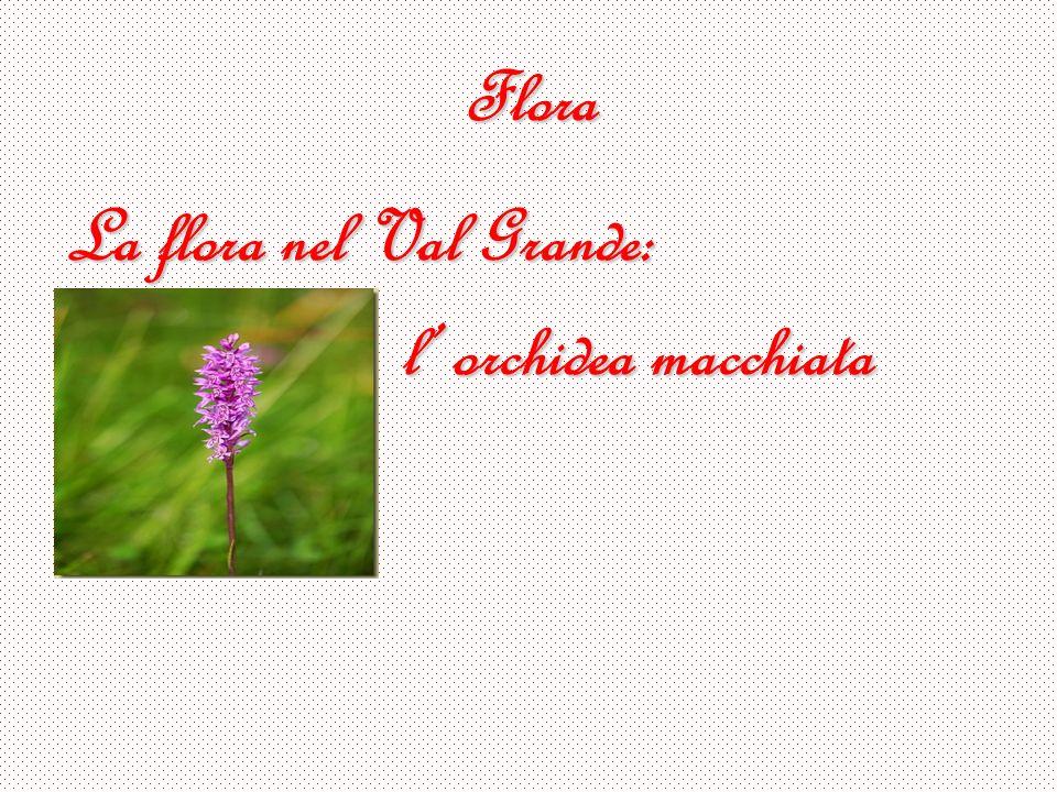 Flora La flora nel Val Grande: l' orchidea macchiata