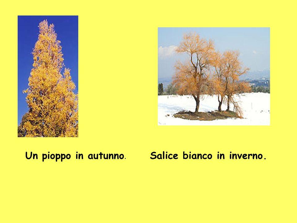 Un pioppo in autunno. Salice bianco in inverno.