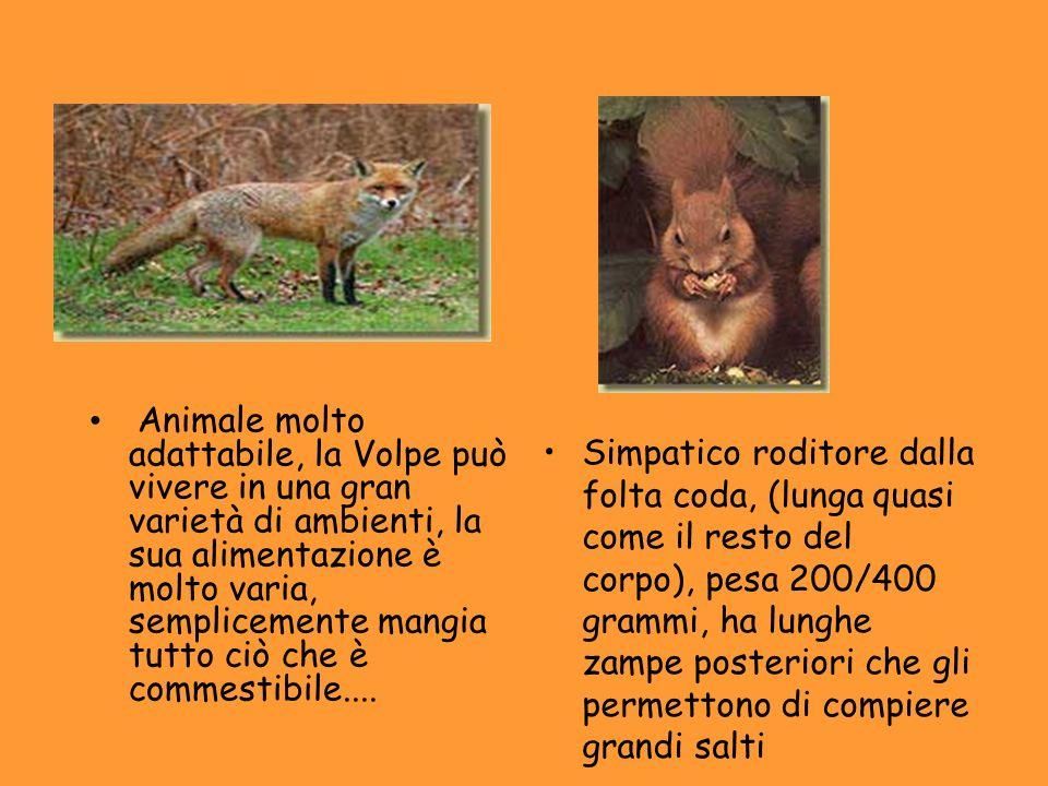 Animale molto adattabile, la Volpe può vivere in una gran varietà di ambienti, la sua alimentazione è molto varia, semplicemente mangia tutto ciò che è commestibile....