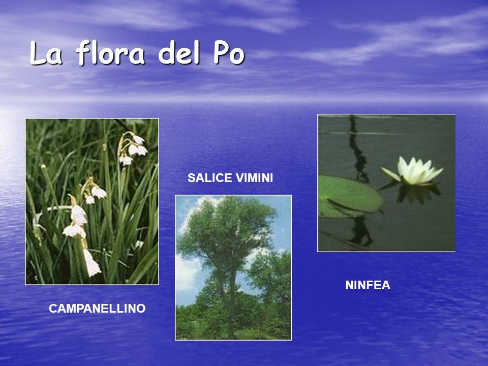 La flora del Po SALICE VIMINI NINFEA CAMPANELLINO