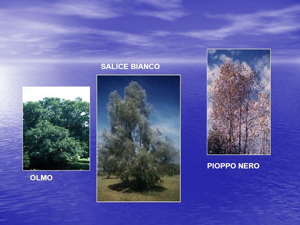 SALICE BIANCO PIOPPO NERO OLMO