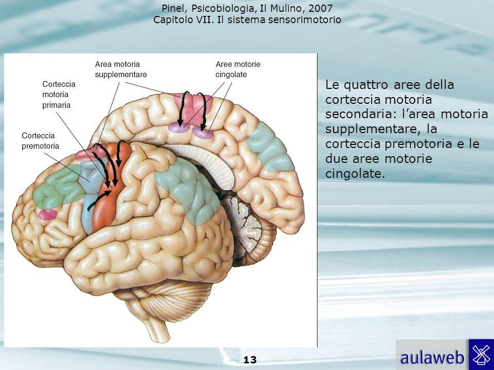 Le quattro aree della corteccia motoria secondaria: l'area motoria supplementare, la corteccia premotoria e le due aree motorie cingolate.