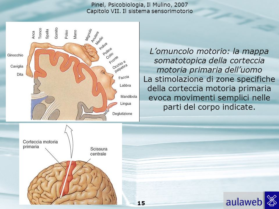 L'omuncolo motorio: la mappa somatotopica della corteccia motoria primaria dell'uomo La stimolazione di zone specifiche della corteccia motoria primaria evoca movimenti semplici nelle parti del corpo indicate.