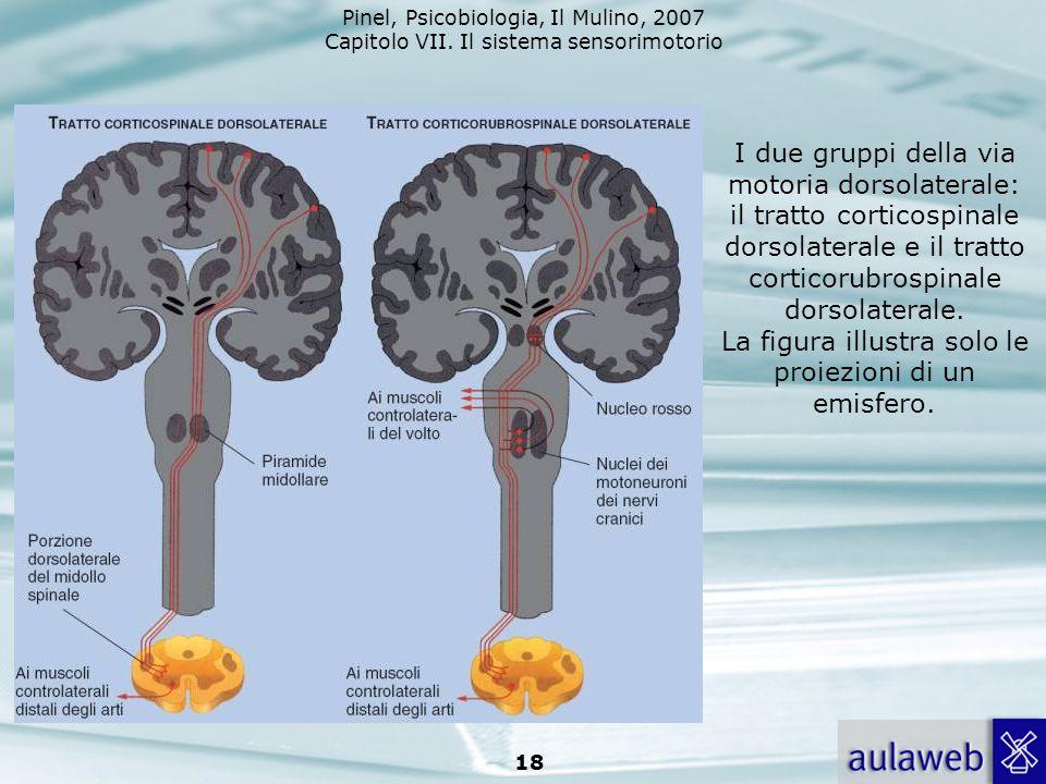 I due gruppi della via motoria dorsolaterale: il tratto corticospinale dorsolaterale e il tratto corticorubrospinale dorsolaterale.