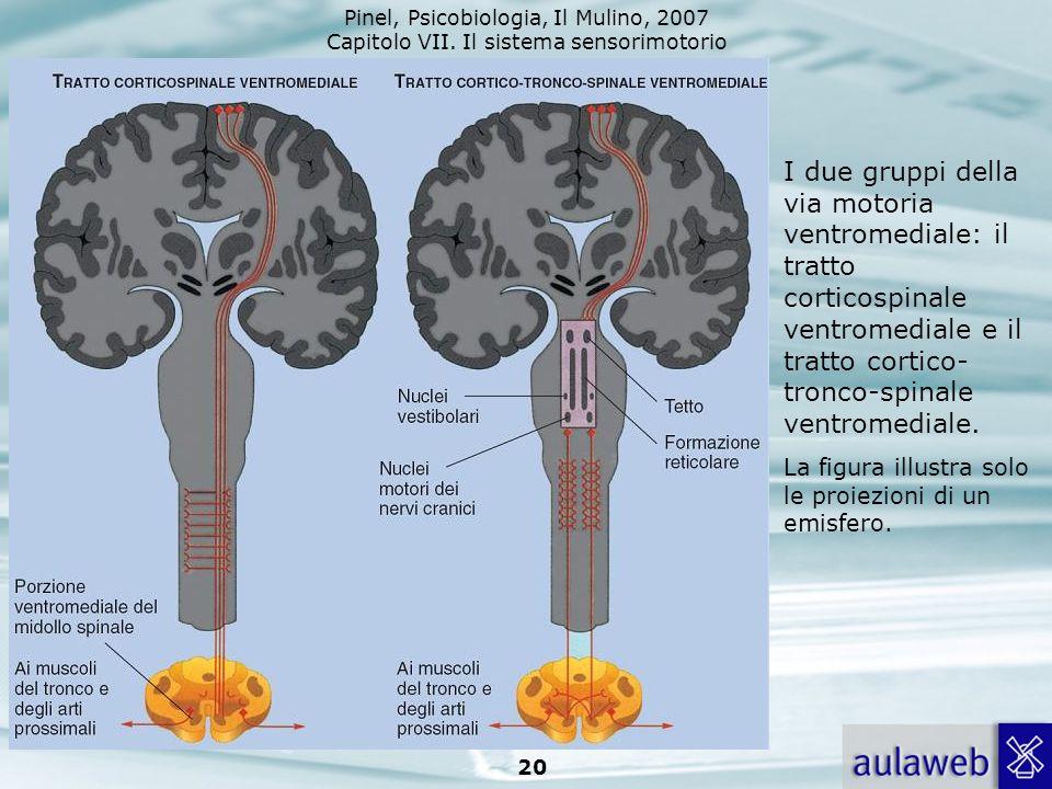 I due gruppi della via motoria ventromediale: il tratto corticospinale ventromediale e il tratto cortico-tronco-spinale ventromediale.