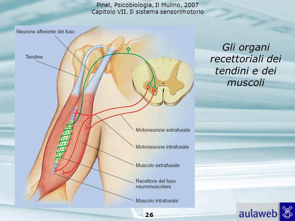 Gli organi recettoriali dei tendini e dei muscoli