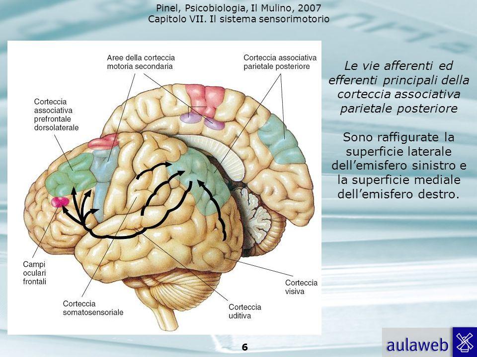 Le vie afferenti ed efferenti principali della corteccia associativa parietale posteriore Sono raffigurate la superficie laterale dell'emisfero sinistro e la superficie mediale dell'emisfero destro.