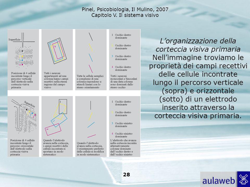 L'organizzazione della corteccia visiva primaria Nell'immagine troviamo le proprietà dei campi recettivi delle cellule incontrate lungo il percorso verticale (sopra) e orizzontale (sotto) di un elettrodo inserito attraverso la corteccia visiva primaria.