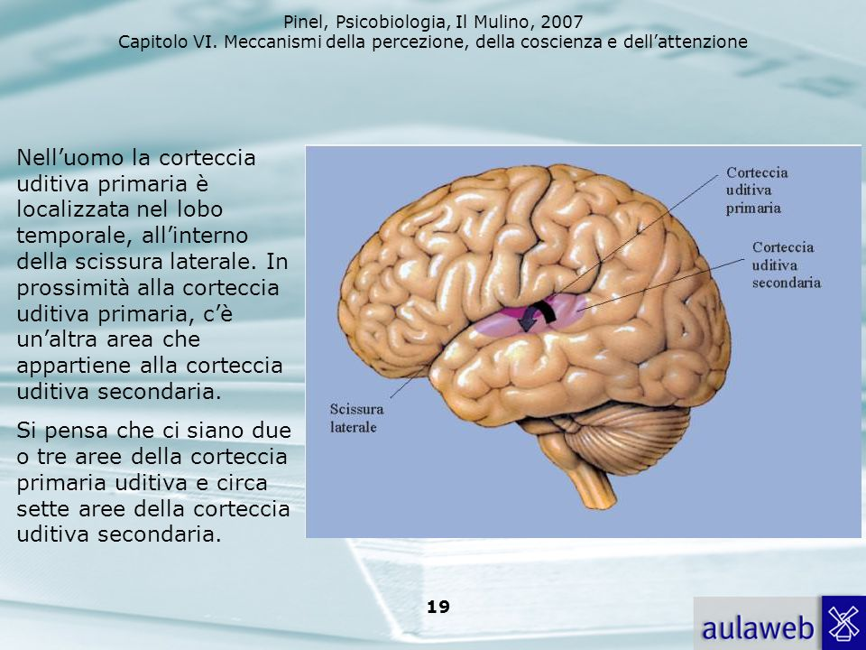 Nell'uomo la corteccia uditiva primaria è localizzata nel lobo temporale, all'interno della scissura laterale. In prossimità alla corteccia uditiva primaria, c'è un'altra area che appartiene alla corteccia uditiva secondaria.