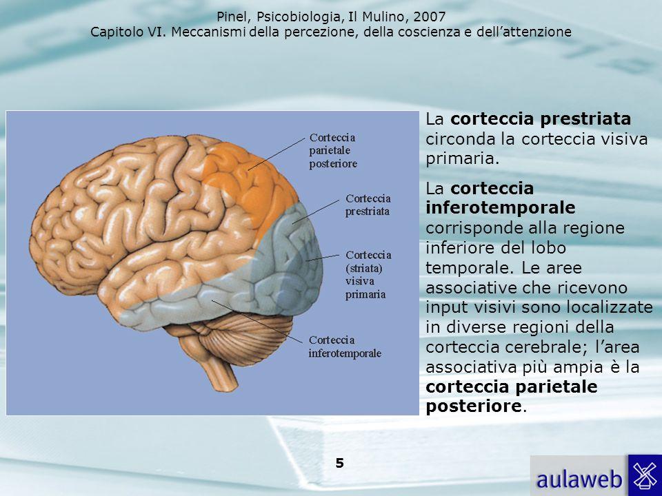 La corteccia prestriata circonda la corteccia visiva primaria.