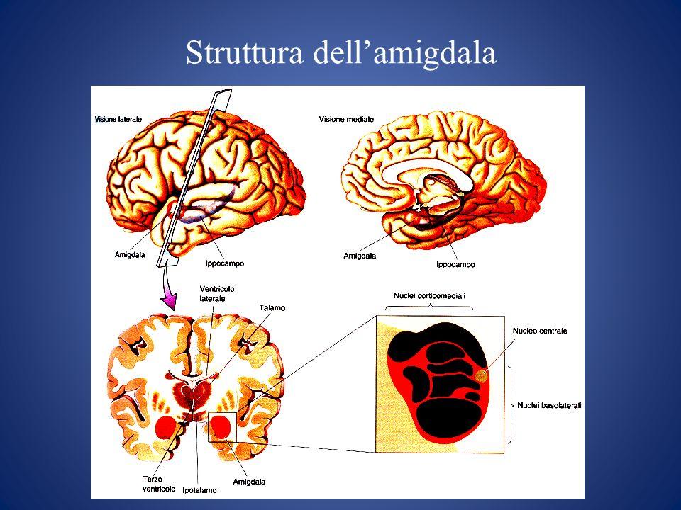 Struttura dell'amigdala