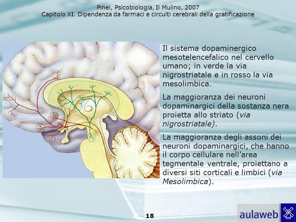 Il sistema dopaminergico mesotelencefalico nel cervello umano; in verde la via nigrostriatale e in rosso la via mesolimbica.