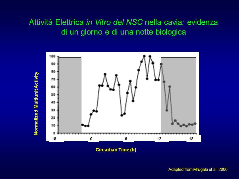 Attività Elettrica in Vitro del NSC nella cavia: evidenza di un giorno e di una notte biologica