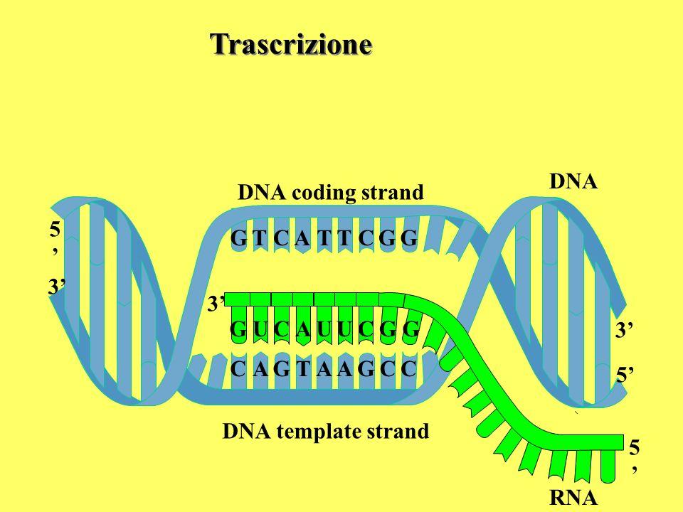 Trascrizione DNA DNA coding strand 5' G T C A T T C G G 3' G RNA 5' U