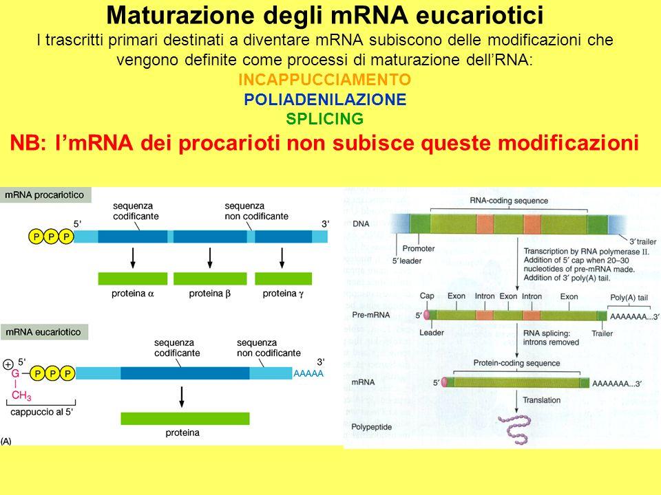 Maturazione degli mRNA eucariotici I trascritti primari destinati a diventare mRNA subiscono delle modificazioni che vengono definite come processi di maturazione dell'RNA: INCAPPUCCIAMENTO POLIADENILAZIONE SPLICING NB: l'mRNA dei procarioti non subisce queste modificazioni