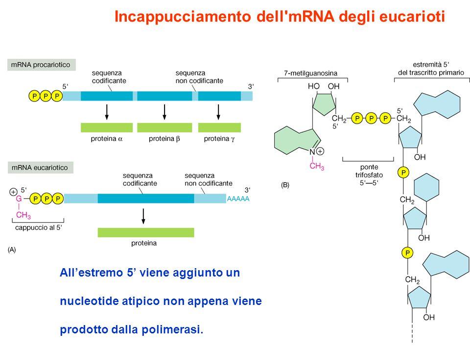 Incappucciamento dell mRNA degli eucarioti
