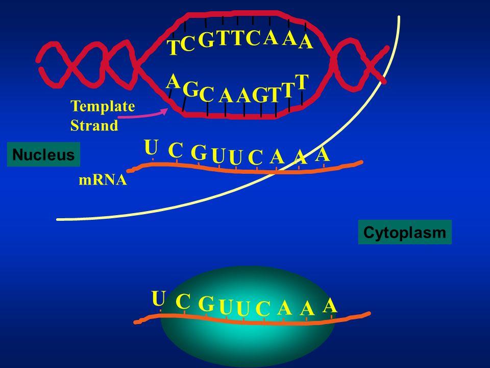A G C T Template Strand U C G A mRNA Nucleus Cytoplasm U C G A