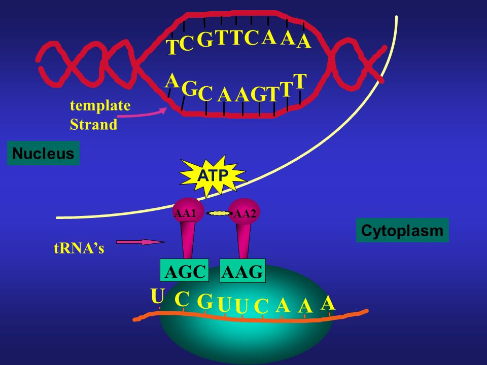 T G C A U C G A AAG AGC template Strand Nucleus ATP Cytoplasm tRNA's