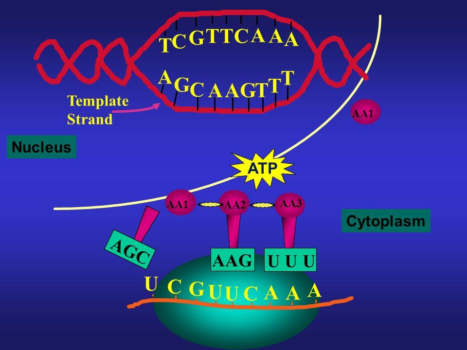 T G C A U C G A AGC AAG U U U Template Strand Nucleus ATP Cytoplasm