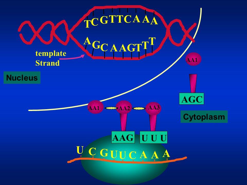 T G C A U C G A AGC AAG U U U template Strand Nucleus Cytoplasm AA1