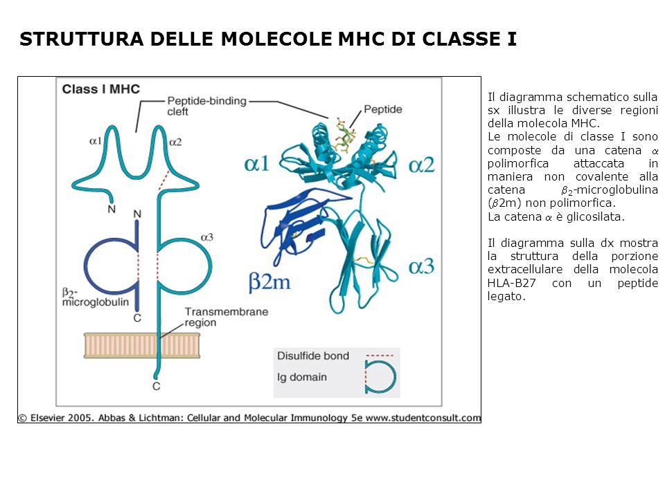 STRUTTURA DELLE MOLECOLE MHC DI CLASSE I