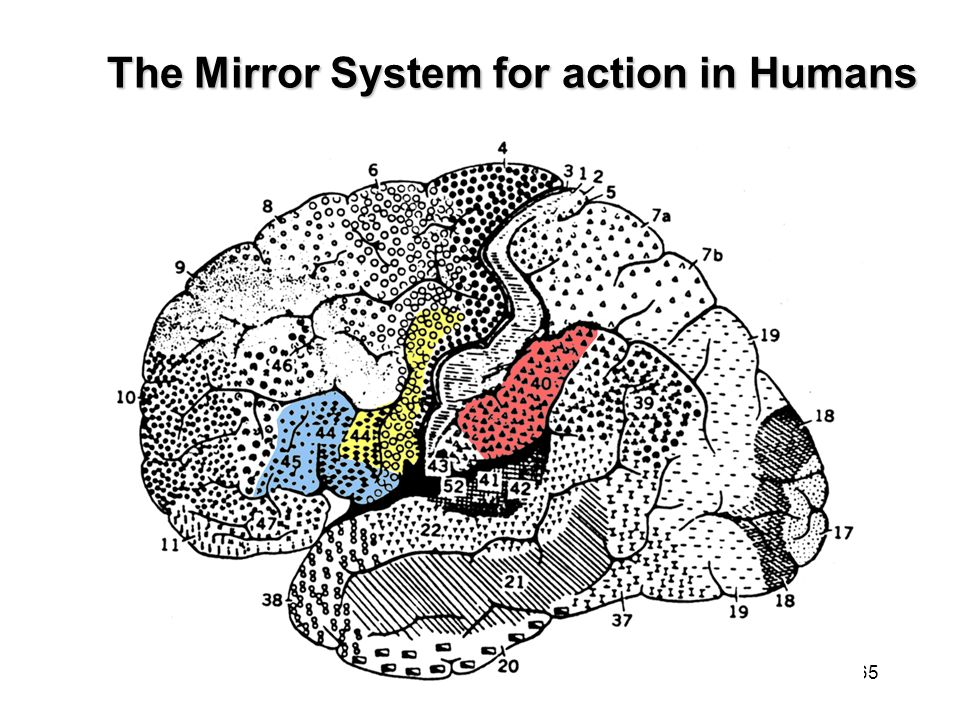 The Mirror System for action in Humans
