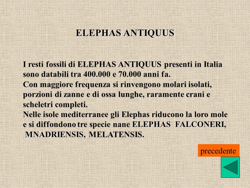 ELEPHAS ANTIQUUS I resti fossili di ELEPHAS ANTIQUUS presenti in Italia. sono databili tra 400.000 e 70.000 anni fa.
