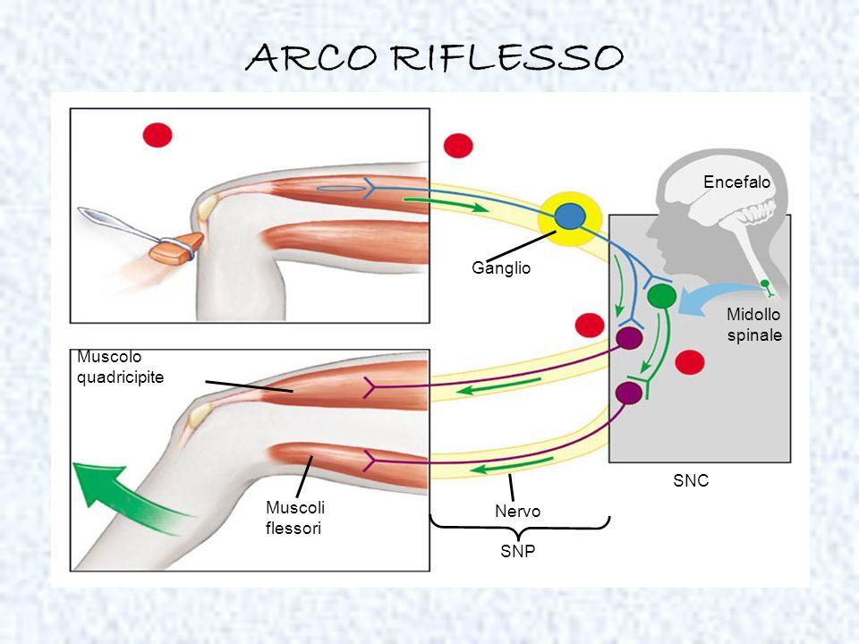 ARCO RIFLESSO Encefalo Ganglio Midollo spinale Muscolo quadricipite