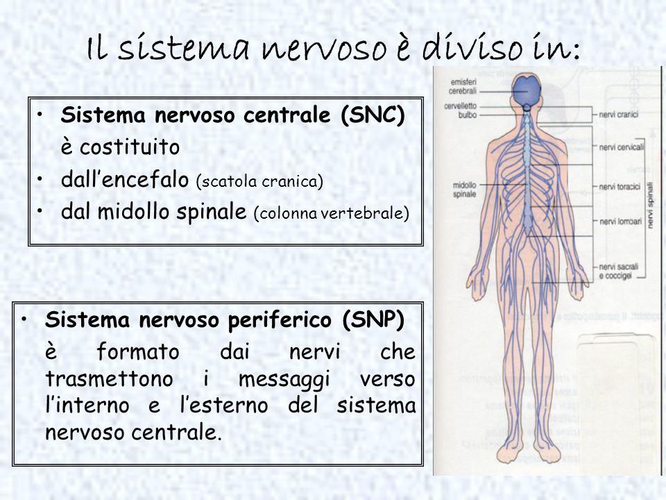 Il sistema nervoso è diviso in: