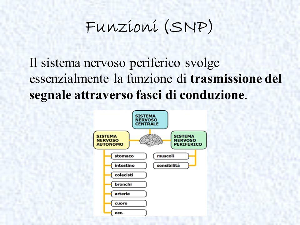 Funzioni (SNP) Il sistema nervoso periferico svolge essenzialmente la funzione di trasmissione del segnale attraverso fasci di conduzione.