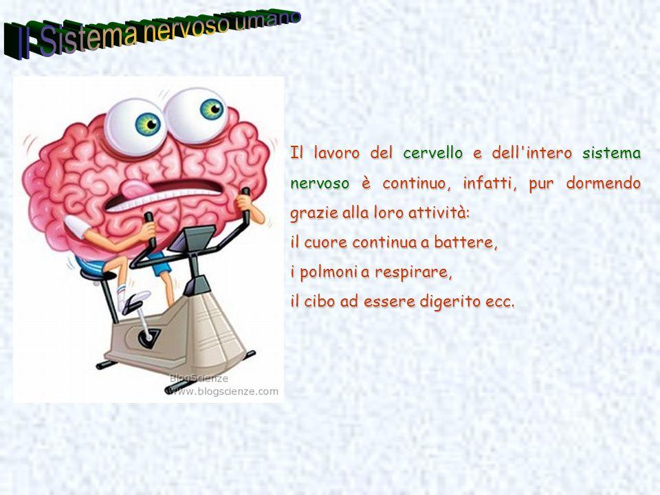 Il Sistema nervoso umano