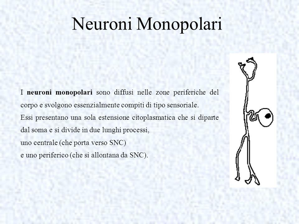 Neuroni Monopolari I neuroni monopolari sono diffusi nelle zone periferiche del corpo e svolgono essenzialmente compiti di tipo sensoriale.